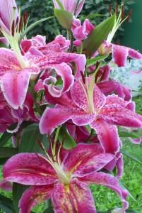 Уход, размножение, садовых лилий