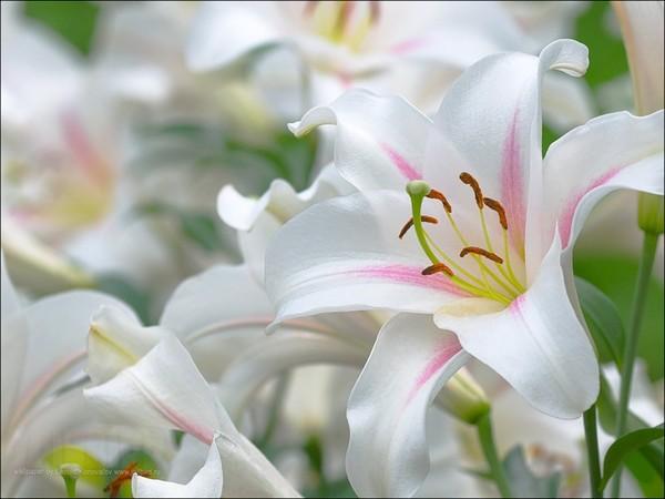 размножение садовых лилий
