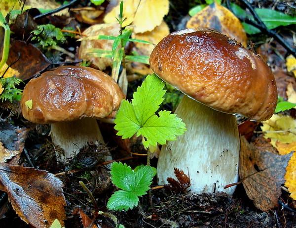 лечение грибами, в народной медицине