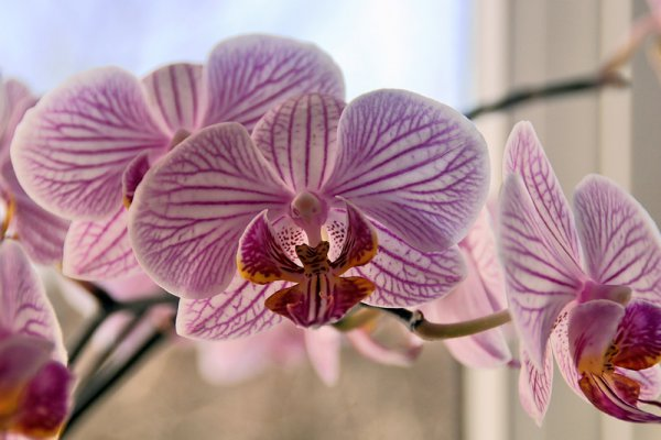 орхидея, уход, пересадка, фото