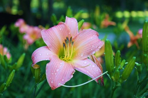 садовые лилии, фото